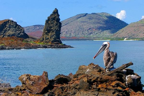 Brown Pelican, Pinnacle Rock