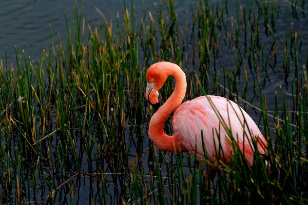 Flamingo in long grass, Galapagos Islands