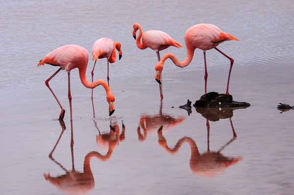Flamingos, Galapagos Islands