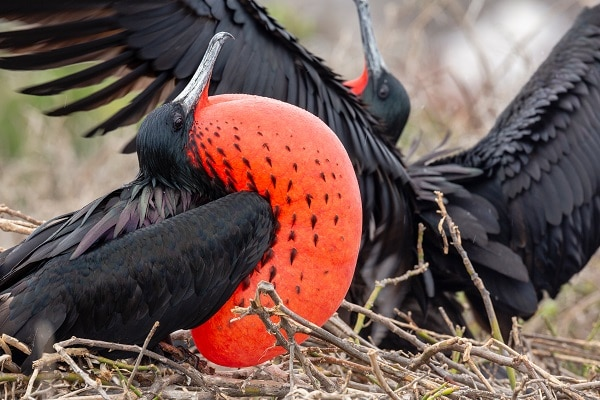 Close up of Frigatebird