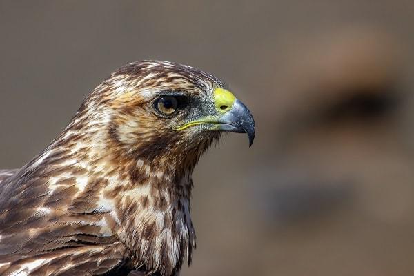 Galapagos Hawk, Bartolome Island