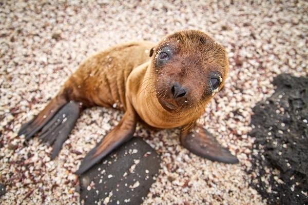 Baby Sea Lion, Galapagos Islands