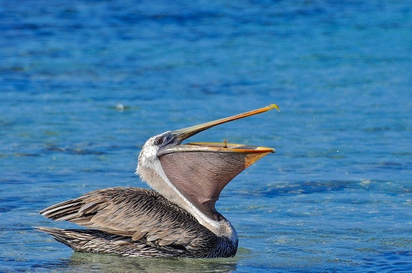 Pelican with mouth open, Galapagos Islands