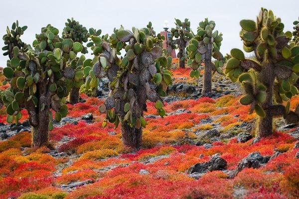 Prickly Pear Cactus,. Galapagos