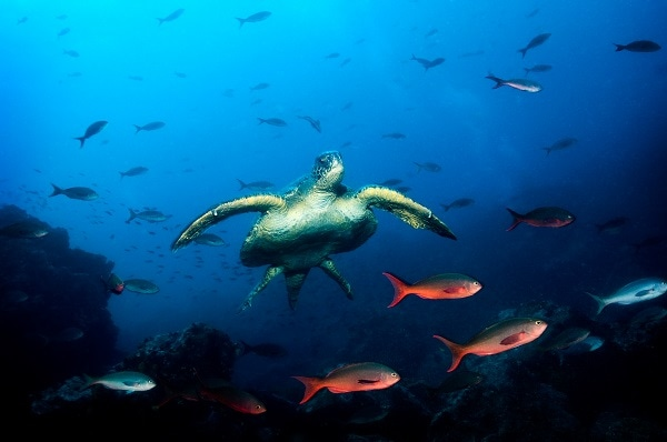 Sea Turtle swimming underwater with fish