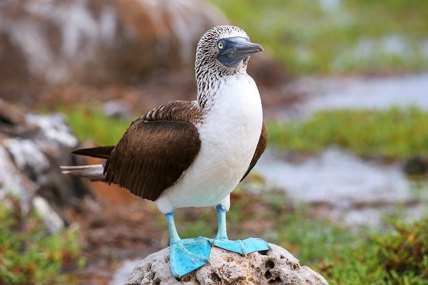 Blue-footed Booby, Luxury Galapagos Vacations