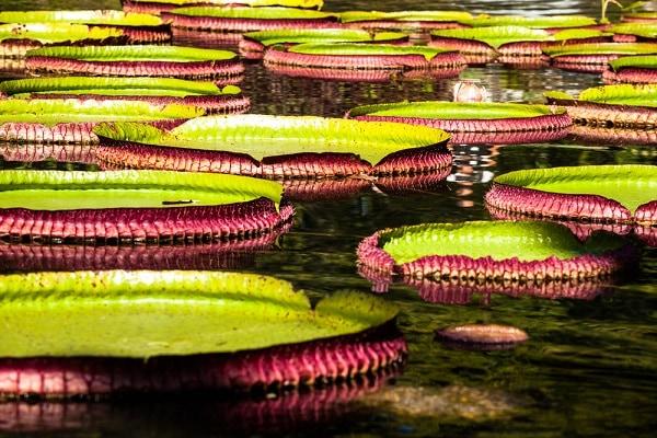 Brazilian Amazon, Victoria Regia
