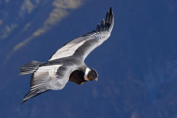 Luxury Peru Vacations, Colca Canyon Condor
