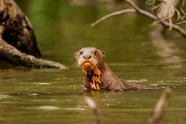 Giant Otter, Tambopata Amazon Jungle, Peru