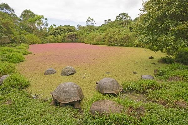 Giant Tortoises, Santa Cruz Island