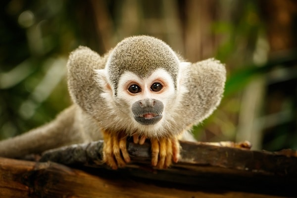 Luxury Amazon Luxury Vacations, Squirrel Monkey