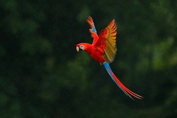Macaw Parrot, Brazil's Amazon Jungle