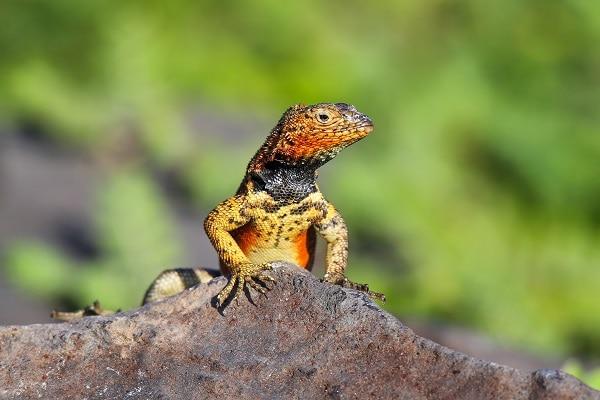 Male Hood Lava Lizard, Galapagos