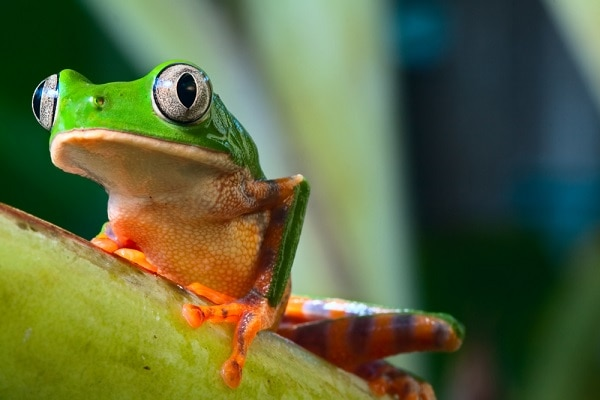 Tree Frog, Amazon Rainforest, Brazil