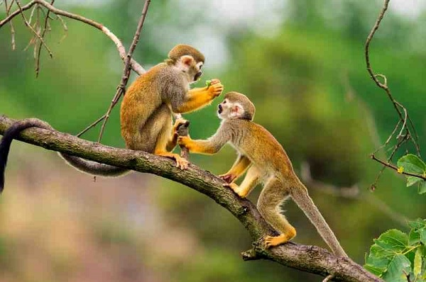 Two Squirrel Monkeys, Tambopata Amazon Jungle, Peru