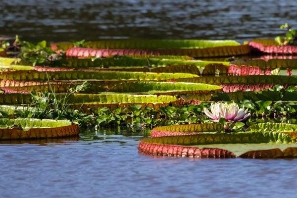 Victoria Amazonica, Water Lilies, Pantanal, Brazil