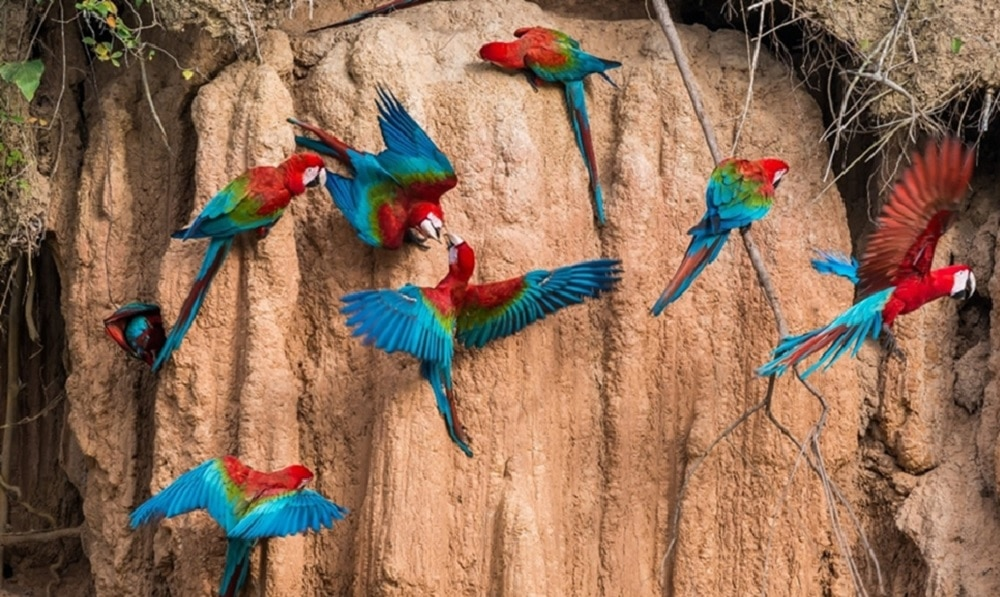 Macaws blue and red in Amazon clay lick