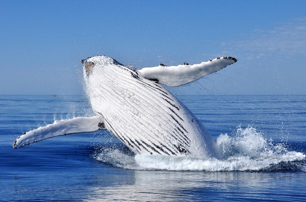 White whale breaching in the sea
