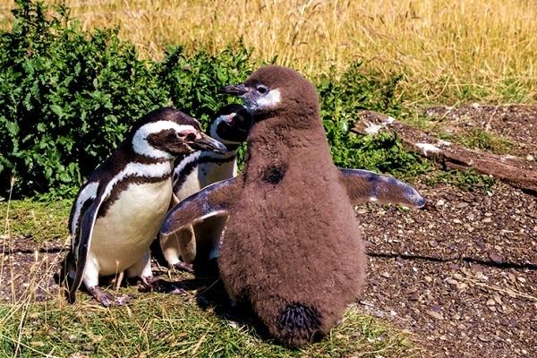 Family of Magellanic Penguins Tierra del Fuego