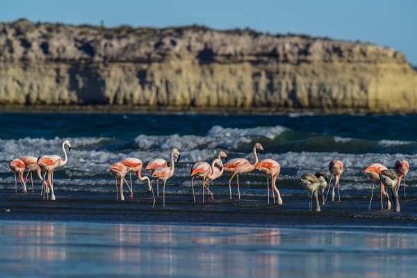 Peninsula Valdés - Flamingos Feeding on Beach