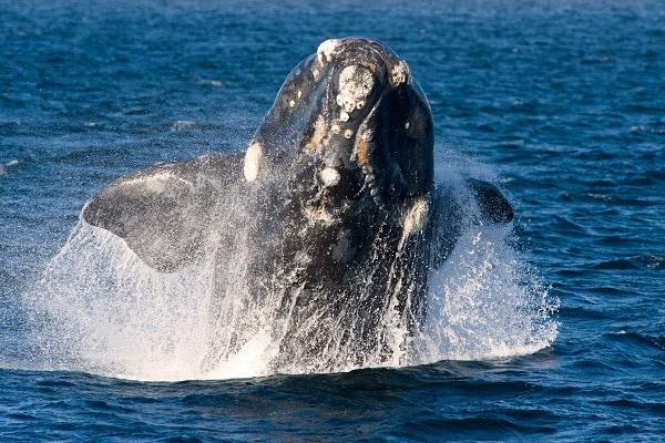 Peninsula Valdés - Whale Watching
