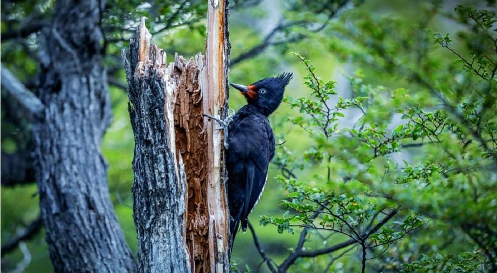 Close up picture of Woodpecker in El Chalten