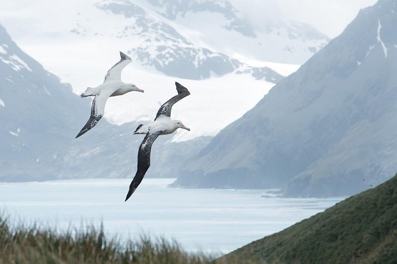A pair of Albatrosses flying in South Georgia Island, Antarctica