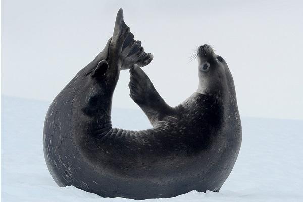 Antarctic Seal