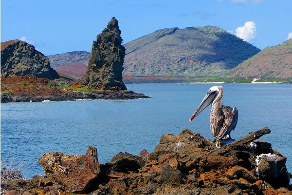 Brown Pelican - Galapagos Islands