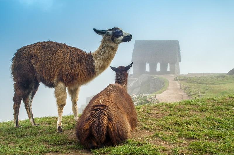 2 llamas in mist looking at caretakers hut - Machu Picchu