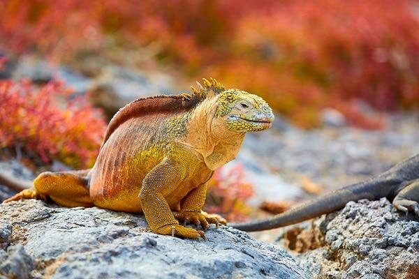 Galapagos Land Iguana - Galápagos Islands