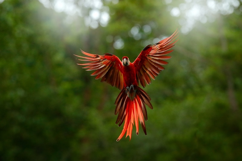 colorful Macaw in flight with wings fully extended