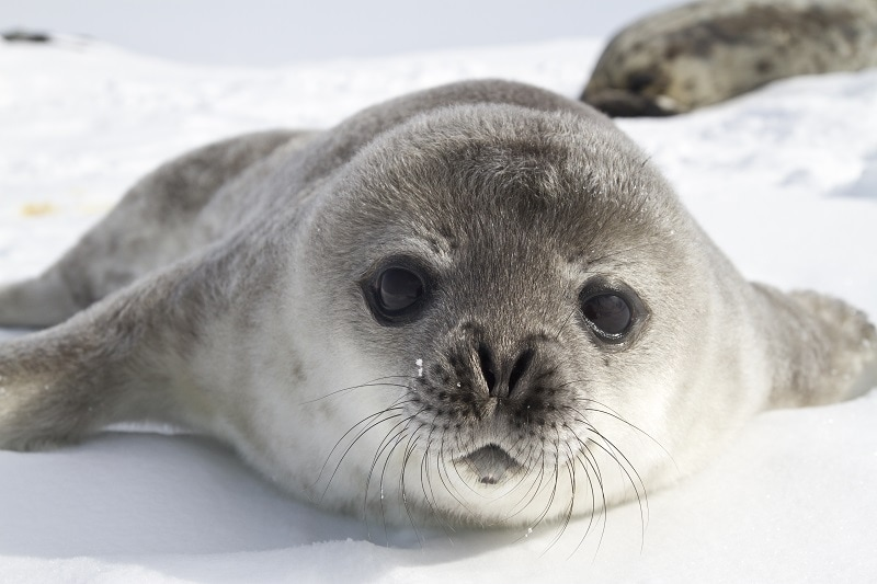 Weddell seal pup looking directly at camera, sat on snow.