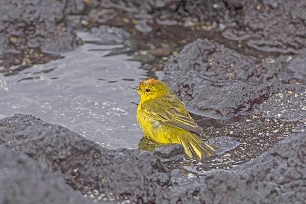 Yellow Warbler - Isabela Island