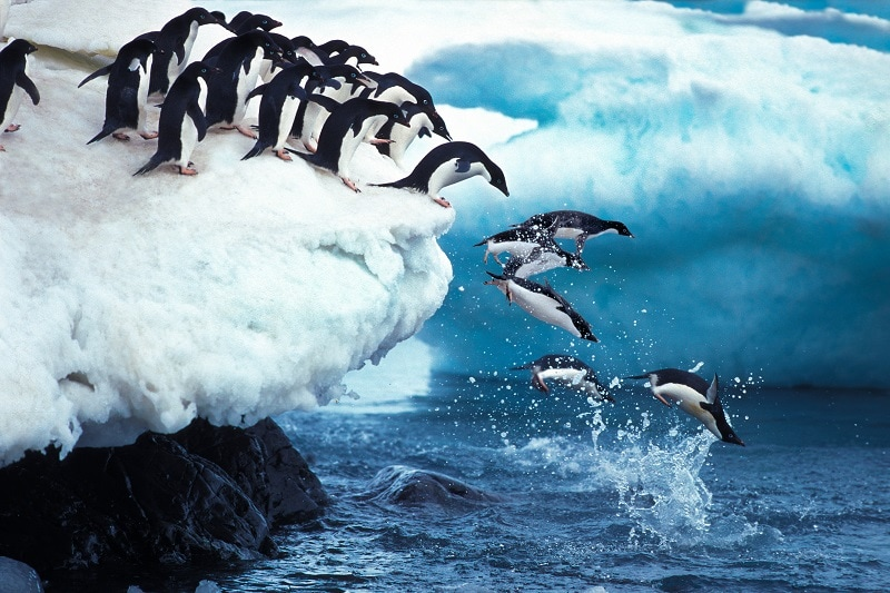Adelie Penguin jumping into sea in a long line.